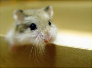 Dwarf Hamster Care - How to Take Care of Your Dwarf Hamster