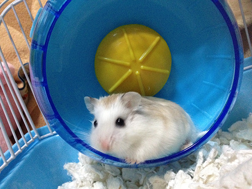 robo dwarf hamster on a wheel