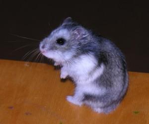 russian dwarf hamster: winter white dwarf hamster