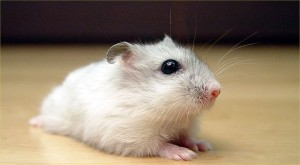 winter white dwarf hamster
