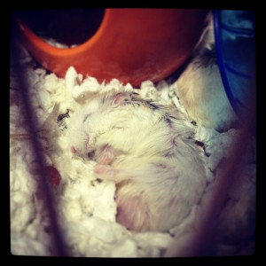 dwarf hamster sleeping in cage