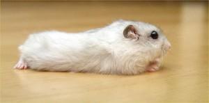 Pearl Winter White dwarf hamster