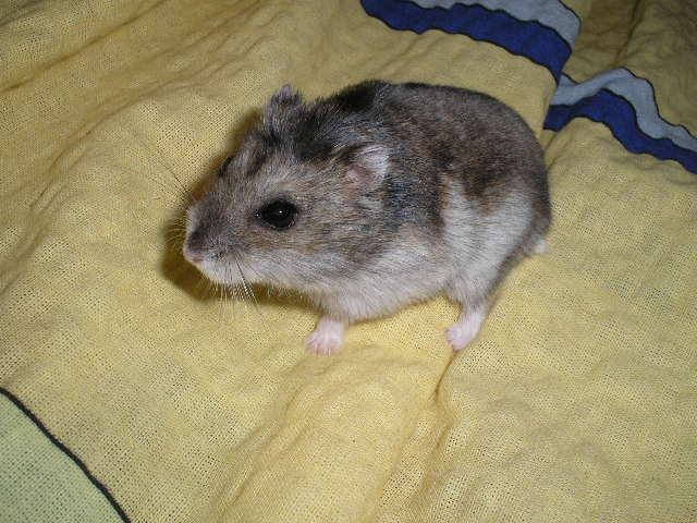 siberian hamster - winter white dwarf hamster