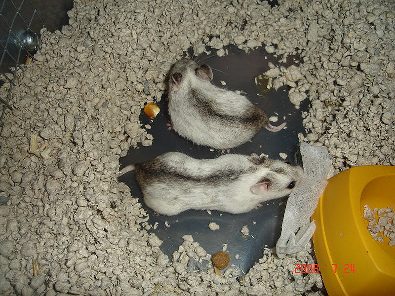 dominant spot chinese hamsters