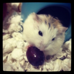 dwarf hamster food - seedless grape