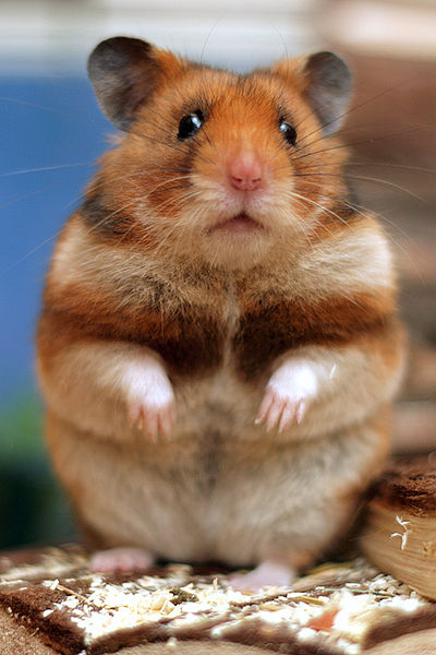 Hamster adult site