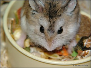 hamster eating treats