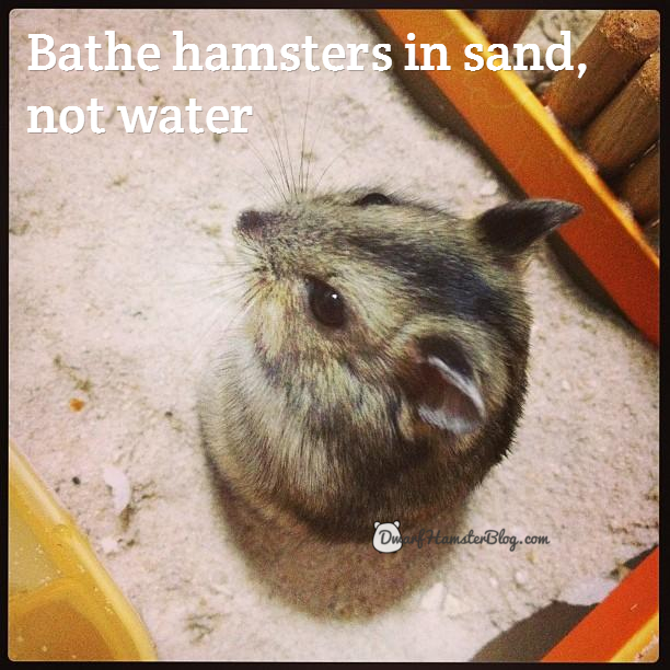Bathe hamsters in sand not water
