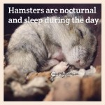 Hamster Facts in Photos