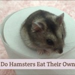 Why Do Hamsters Eat Their Own Poop?