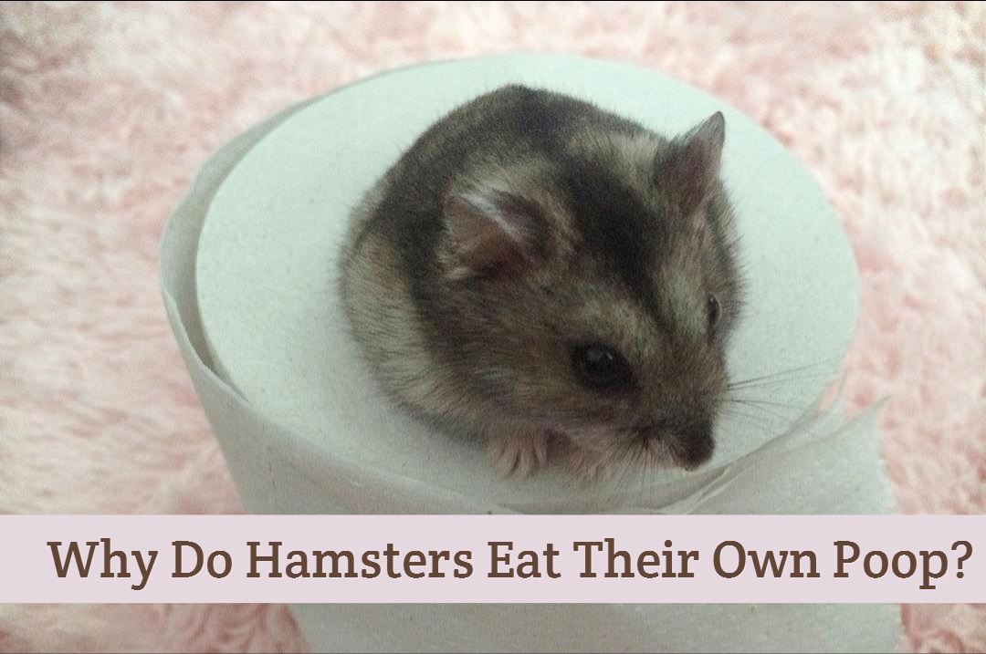 why do hamsters eat their own poop