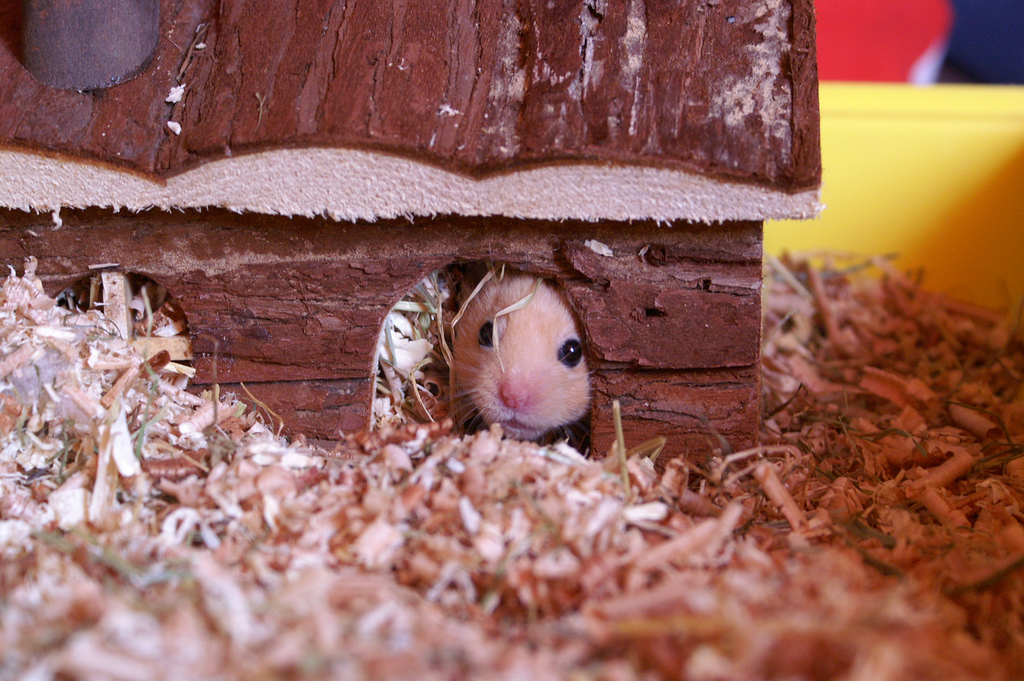 baby syrian hamster in wooden hideout