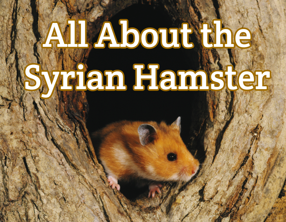 syrian hamster - detailed overview