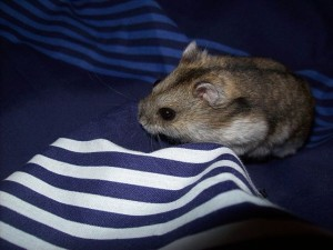 campbell dwarf hamster