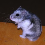 Russian Dwarf Hamster – Campbell's, Winter White & Hybrids